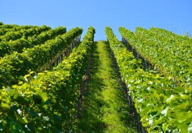 Le vin bio: fausse bonne idée?